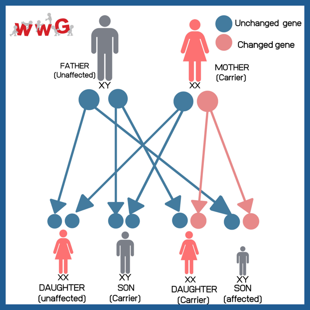 WWGF Genetics and Screening X Linked Inheritance